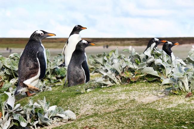 Gentoo Penguins at Volunteer Point, Falkland Islands