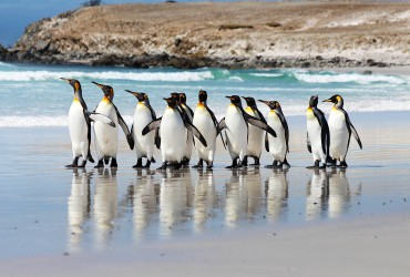 King Penguins on Volunteer Point Beach, Falkland Islands