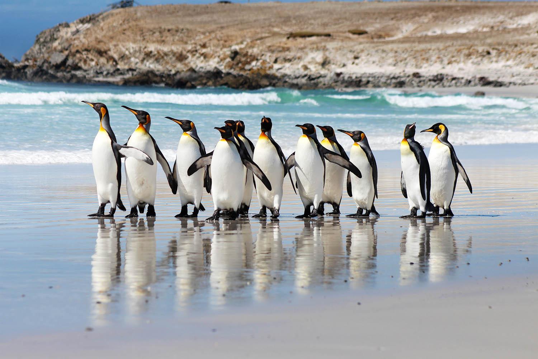 King Penguins on Volunteer Point Beach, Falkland Islands