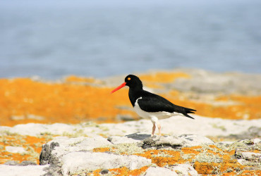 Magellanic Oystercatcher at Cape Dolphin Point, Falkland Islands