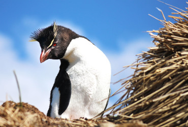 Rockhopper Penguin at Cape Bougainville, Falkland Islands