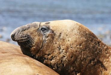 Elephant Seal (6)